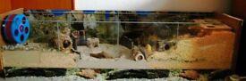 Large hamster tank with lids, bedding and accessories
