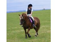 14.2hh WELSH X MARE - ALL ROUNDER
