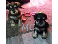 3 Mini Schnauzer pups, pedigree KC Reg puppies, vet checked, wormed & vaccinated, non-casting dogs