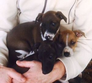 ITALIAN GREYHOUND PUPPIES FOR SALE Melbourne CBD Melbourne City Preview