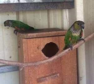 Black Capped Conures Whyalla Whyalla Area Preview