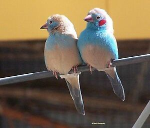 Cordon Blue Finch Breeding Pair