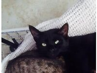 Missing Black Cat in Old Catton....Reward Offered