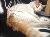 Missing Turkish Van Cat from North London - £400 Reward