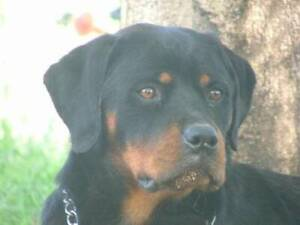 Pure Bred Rottweiler with papers