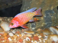 Adult African Cichlid - 4+ Inches - Strawbery Peacock,OB Peacock