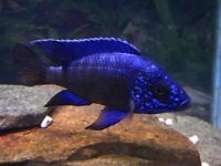 For sale are various malawi cichlids and victorian cichlids available also, starting from 2""