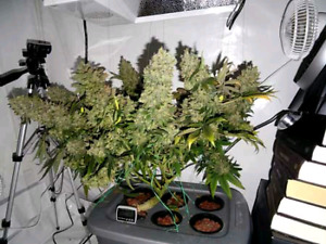 Help for the home cannabis grower