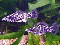 Assted Mollies (dalmation , Leopard and lyretail blacks , great community fish for a tropical tank