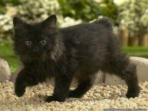 ISO of long haired kitten