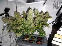 Marijuana grow setups