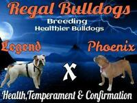 5 male Victorian Bulldogs for sale