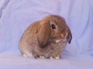 Mini Lop Rabbit Baby Girl - Purebred, Vaccinated, Confident Joondalup Joondalup Area Preview