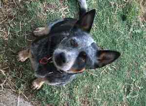 lost blue heeler female Bunbury Bunbury Area Preview