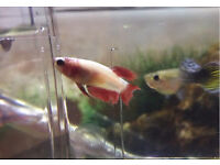 Female Betta Fighting Fish for sale!