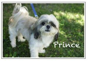 "Young Male Dog - Shih Tzu: ""Prince"""