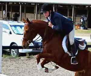 Lovely Welsh X Mare for sale London Ontario image 2