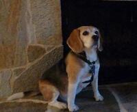 "Senior Male Dog - Beagle: ""Finnegan"""