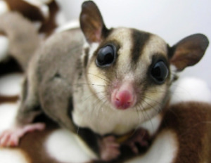 Two young, male sugar gliders with cage!