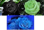 Blue Rose Seeds