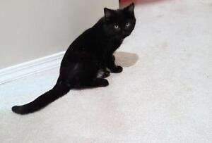"""Young Female Cat - Domestic Short Hair: """"Char"""""""