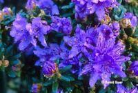 2 Litre Pot Dwarf Rhododendron Impeditum Blue Purple Flowers Garden Shrub Plant - growon shrubs - ebay.co.uk