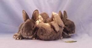 Hypoallergenic Mini Rex Velvet Rabbit Babies - Divine Plush Coats Joondalup Joondalup Area Preview