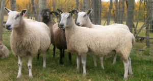 Looking for BFL type ewes and ram