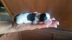 Maltese Cross Puppies for Sale Bass Hill Bankstown Area Preview