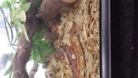 Corn Snake with Accessories