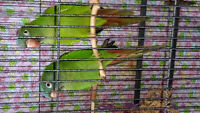 BLUE CROWNED CONURES