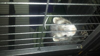 2 Ferrets for sale with accessories