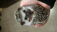Young male hedgehog for sale