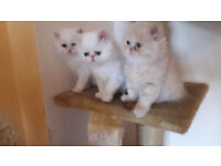 Adorable Persian kittens available.