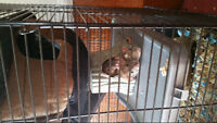 3 baby female rats
