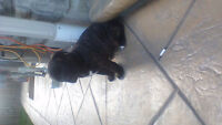 pure bull mastiff puppies 2 big females left