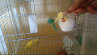 Cockatiel and Budgie for Sale