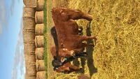 Limo breeding heifers for sale