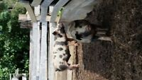 2 Butcher pigs for sale