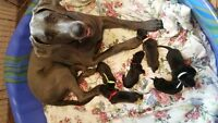 Great Dane Puppies 75% European