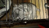 Two chinchilla for sale! Cage and all accessories inclusive