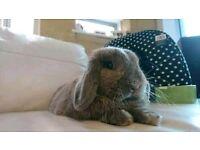 Mini Lop Eared Buck Bunny