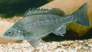 *******SILVER PERCH FOR SALE******* Canning Vale Canning Area Preview