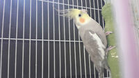 Adult Male Cockatiel looking for a good home!