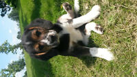 Beagle Border Collie Cross