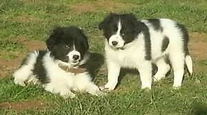 Border Collie puppies Sunbury Hume Area Preview