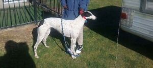 Greyhound free to good home only Maribyrnong Maribyrnong Area Preview