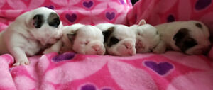 Chiots Bouledogue anglais AMAZING  English Bulldog Puppies