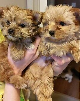 Female And Male Golddust Yorkshire Terrier In Leith Links