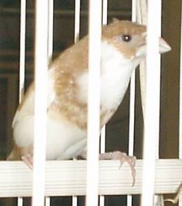 Parrots, Poultry, Canary and Finches from $10.00 Valley View Salisbury Area Preview